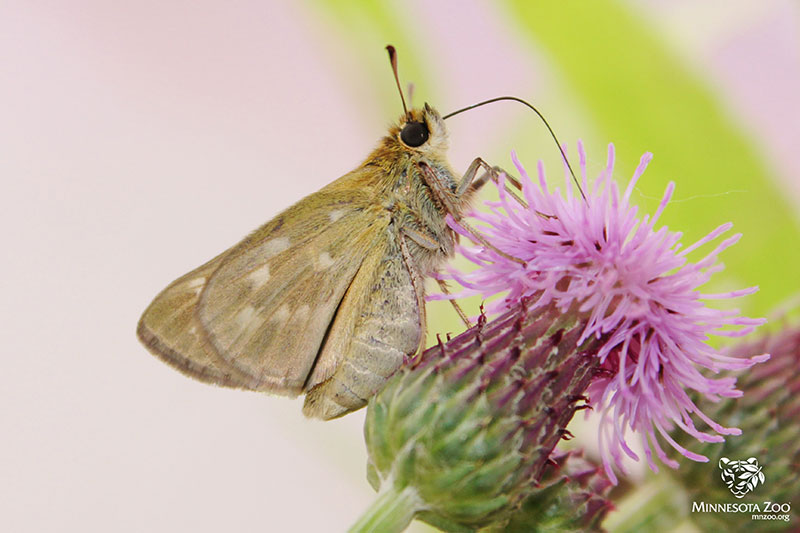 Female Dakota Skipper