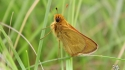 Male Dakota Skipper