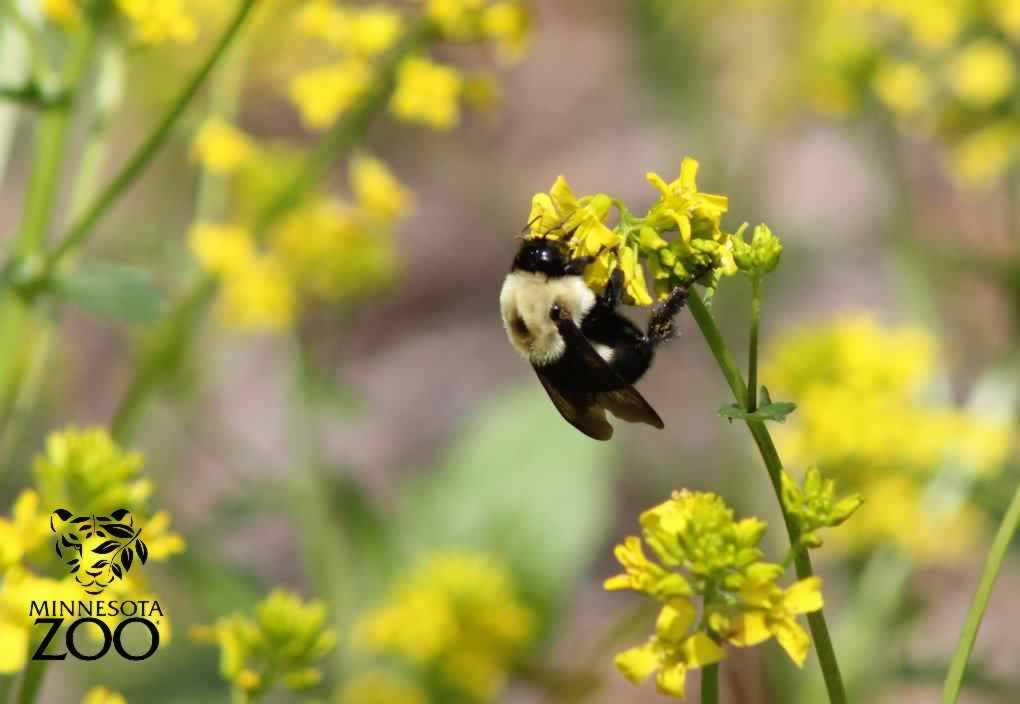 Zoo Camp for Adults: Bumblebees and Beyond: celebrating pollinators down on the farm - 3/30/19