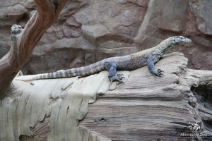 Komodo Dragons On Exhibit 03_2014 009 copy
