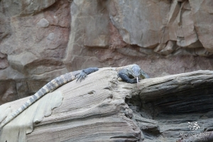 Komodo Dragons On Exhibit 03_2014 054 copy