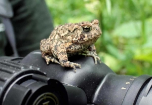 Click here to learn more about the American toad!