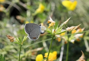 Click here to learn more about the eastern tailed-blue butterfly!