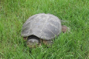 Click here to learn more about the common snapping turtle!