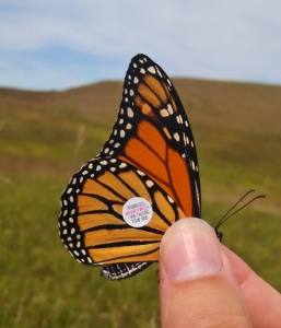"Monarch ""TGW 905"" tagged by Minnesota Zoo Conservation Biologist staff at Glacial Lakes State Park. Sept 5, 2014"