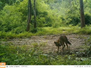 A dhole camera-trapped after stealing our bait and avoiding capture
