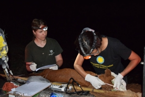 Drs. Kate Jenks and Nucharin Songsasen taking body measurements of an anesthetized dhole.