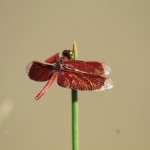 The wings of this scarlet-colored dragonfly sparkle in the sunshine.