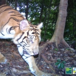 Observing wild Sumatran tigers is extremely difficult.  Camera trap photos like this one allow scientists to safely and effectively monitor wild tiger populations.