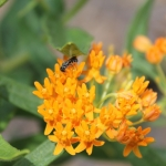 Heriades Small resin bee on butterfly milkweed