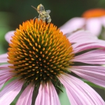 Megachile Leafcutter bee female on purple coneflower