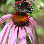 Red admiral on purple coneflower (2)