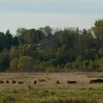Bison herd in Minneopa State Park