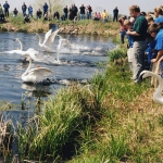 For many years, the Minnesota Zoo bred trumpeter swans for release in Minnesota