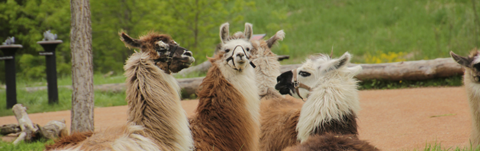 Zoo Camp for Adults: Loveable Llamas